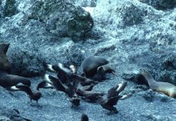 A giant petrel defends its meal from an intruder in a pose referred to by some scientists as the