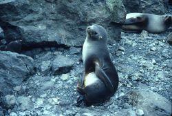 Antarctic fur seal giving birth. Photo