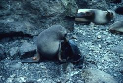 A tagged Antarctic fur seal with her newborn pup. Photo