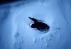 A chinstrap penguin guards its nest after a snowstorm. Photo