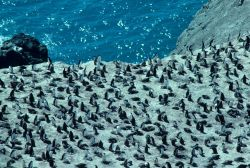 A large chinstrap penguin colony at Seal Island. Photo