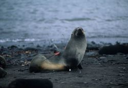 An Antarctic fur seal instrumented with radio and flipper tags. Photo