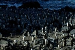 A chinstrap penguin colony on Seal Island. Photo