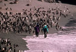 Biologists walk along the outskirts of a penguin at Beaker Bay, Seal Island. Photo