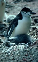 Chinstrap penguin with chick. Photo
