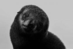 Antarctic fur seal pup . Photo
