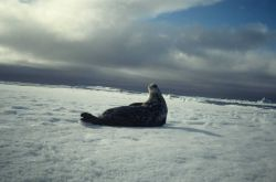 A Weddell seal on the ice Photo