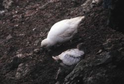 A sheathbill with chick. Photo