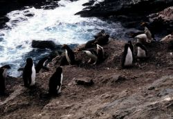 A group of macaroni penguins. Photo
