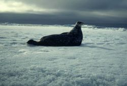 A Weddell seal. Photo