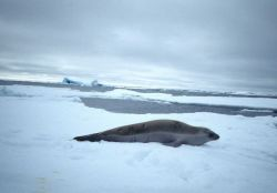 A crabeater seal at Seal Island, South Shetland Islands. Photo