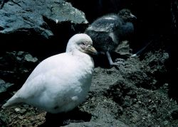 A snowy sheatbill and its chick are seen walking amidst the rocks. Photo