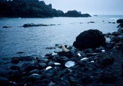 A rare blonde color morph of the Antarctic fur seal. Photo