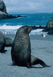 A young Antarctic fur seal. Photo