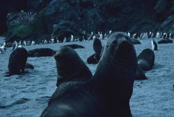 Antarctic fur seals and chinstrap penguins on a beach at Seal Island. Photo