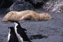 A rare blonde color morph of the Antarctic fur seal rests on the beach. Photo