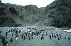 Chinstrap penguins and seals at North Cove, Seal Island. Photo