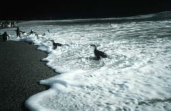 Chinstrap penguins in the surf at Seal Island. Photo