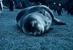 A resting crabeater seal at Seal Island. Photo