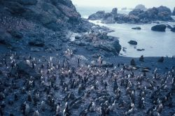 A chinstrap penguin colony on the rocky coast of Seal Island. Photo