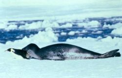 A leopard seal captures an emperor penguin. Photo