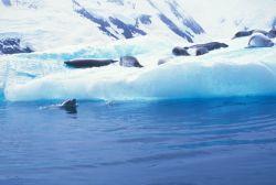 Crabeater seals rest on an iceberg. Photo