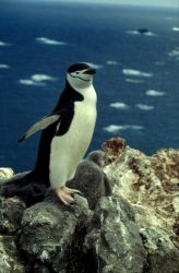 An adult chinstrap penguin, Seal Island. Photo