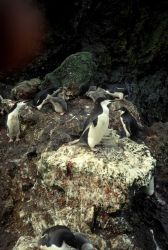 Chinstrap penguins with chicks, Seal Island. Photo