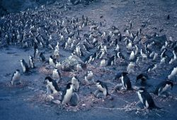 Chinstrap penguins on nests, Seal Island. Photo