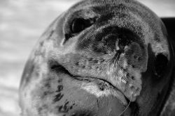 A close up of a leopard seal. Photo