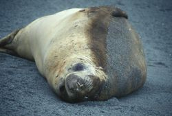 Southern elephant seal resting on a beach at Seal Island, South Shetland Islands . Photo
