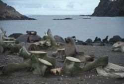 Antarctic fur seals with whalebones at Cape Shirreff, Livingston Island. Photo
