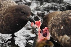 Two south polar brown skuas fight over the remains of an Antarctic finfish. Photo