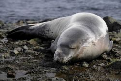 A resting crabeater seal pup. Photo