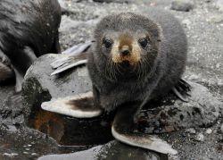 An Antarctic fur seal pup, Livingston Island. Photo