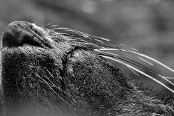 Close up of an Antarctic fur seal. Photo