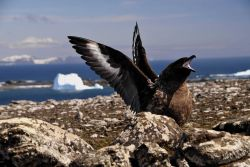 A skua displays its outstretched wings in a