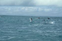 Porpoising dusky dolphins, Southern Ocean. Photo