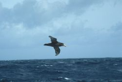 A southern giant petrel glides over the crests of waves while foraging in the Southern Ocean. Photo