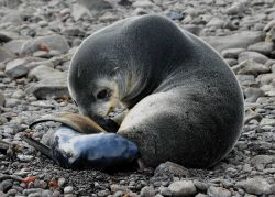 An Antarctic fur seal mother with a pup, only minutes old. Photo
