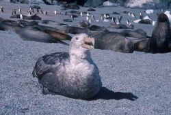 Southern giant petrel with Antarctic fur seals, South Shetland Islands Photo