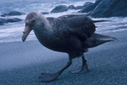 A southern giant petrel walks along the coast on Seal Island. Photo