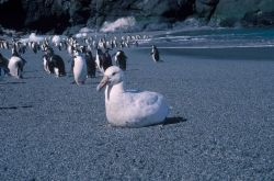 A white morph giant petrel rests on the beach in front of a group of chinstrap penguins. Photo