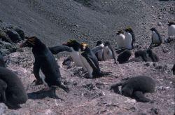 Macaroni penguins, South Shetland Islands. Photo