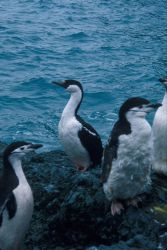 Antarctic shag with molting chinstrap penguins, South Shetland Islands. Photo