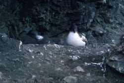 Cape petrels sit on their nests on the rocky coast of Seal Island. Photo