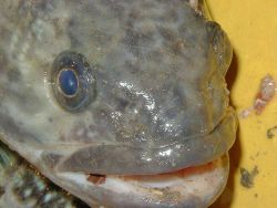 Notothenia coriiceps, black rockcod. Photo