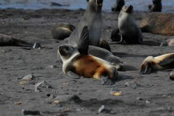 Antarctic fur seals, Livingston Island. Photo