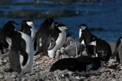 A chinstrap penguin colony on King George Island Photo
