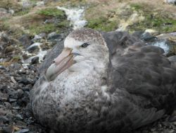 A southern giant petrel sits on its nest. Photo
